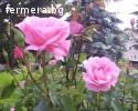 Маслодайна роза, лавандула, безсмъртниче - разсад.